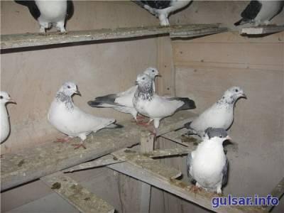 Почитаемые летуны – бойные Иранские голуби - 15 Февраля 2016 - Блог - Голуби Казахстана